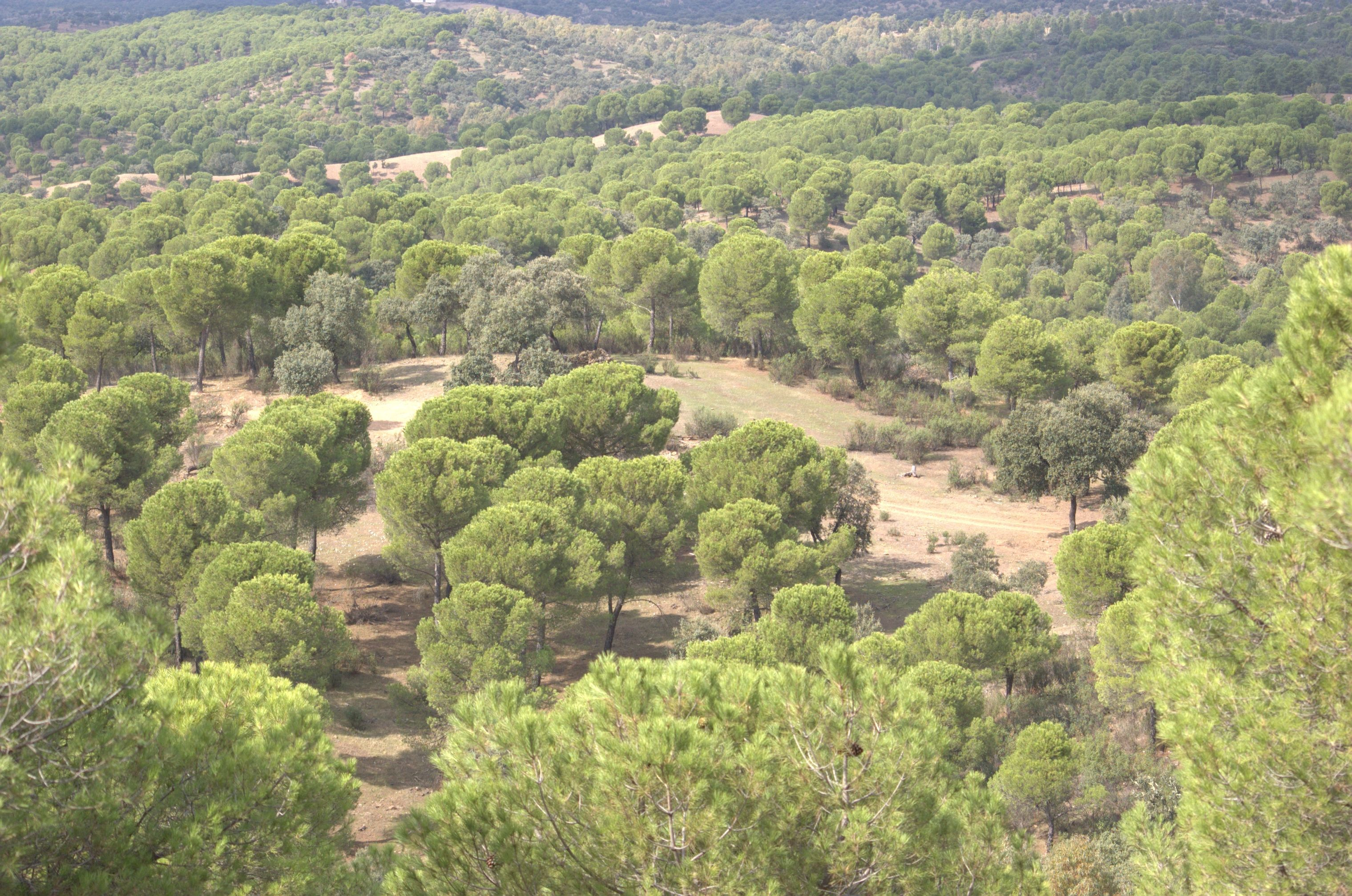 Pinares en Montes Comunales de Adamuz